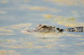 American alligator in still water Stock Photo