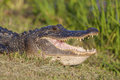 American alligator sunbathing in brazos bend state park texas Stock Image