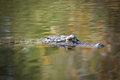 American alligator swimming in a local pond in florida Royalty Free Stock Images