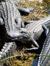 American alligators getting sun bath in florida Royalty Free Stock Photo