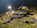 American alligators getting sun bath in florida Stock Photos