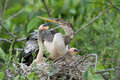 American Anhinga Nest Royalty Free Stock Photos