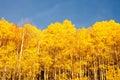 American Aspen Trees Royalty Free Stock Photo