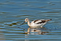 American Avocet Stock Photography