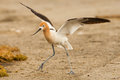 American avocet adult in breeding plumage running on sandy shore Royalty Free Stock Images