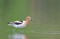 American avocet at belmar park lakewood colorado during spring time Stock Photography