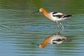 American avocet feeding in the marsh in breeding colors Stock Photo