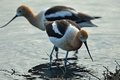 American Avocet Hunting Royalty Free Stock Image
