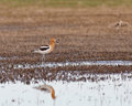 American avocet in the marsh standing wetlands with reflection on water Stock Image
