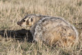 American badger staining ground on prairie standing in defensive mode Stock Photos