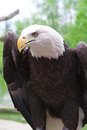 American Bald Eagle close up Royalty Free Stock Image