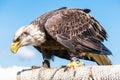 American Bald Eagle, closeup. Royalty Free Stock Photo