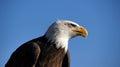 American bald eagle closeup Royalty Free Stock Photo