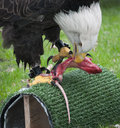 American Bald Eagle Eats a Rat Royalty Free Stock Photo