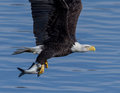 American Bald Eagle in flight Royalty Free Stock Photo