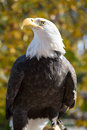 American bald eagle haliaeetus leucocephalus the with its snowy feathered not head and white tail is the proud national bird Stock Images