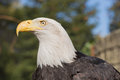 American bald eagle haliaeetus leucocephalus the with its snowy feathered not head and white tail is the proud national bird Royalty Free Stock Image