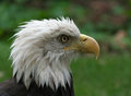 American bald eagle head shot with blurred background Stock Image