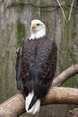 American bald eagle looking over his shoulders Stock Image