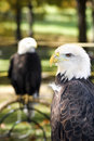 American Bald Eagle Looks Left Stock Photo