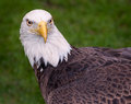 American Bald Eagle Looks Right Royalty Free Stock Photos