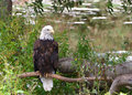 American bald eagle perched on a branch Royalty Free Stock Photo
