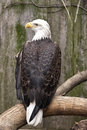 American bald eagle perched on a branch next to an old shed Stock Photography