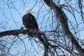 American bald eagle perched in a tree Royalty Free Stock Photos