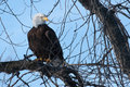American bald eagle perched in a tree Royalty Free Stock Images
