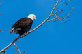 American bald eagle perched in a tree Royalty Free Stock Image