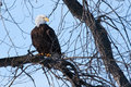 American bald eagle perched in a tree Stock Photos