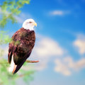 American Bald Eagle Perched on Tree Royalty Free Stock Photo