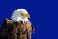 American bald eagle photo of a majestic perched in a tree the national bird of the united states of america Royalty Free Stock Photography