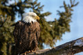 American bald eagle photo of a majestic perched in a tree in winter Stock Photos