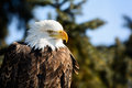 American bald eagle photo of a majestic perched in a tree in winter Royalty Free Stock Photo