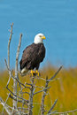 American bald eagle sitting in a tree Stock Images