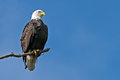 American bald eagle sitting on a tree branch Royalty Free Stock Images