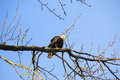 American bald eagle watching carefully an adult female keeps a watchful eye while perched in the trees Royalty Free Stock Photos