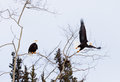American Bald Eagles perched and starting to fly Royalty Free Stock Photo