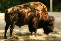 American bison also known as the buffalo Royalty Free Stock Photos