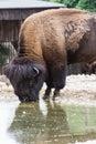 American bison bison bison buffalo drinks water Stock Image