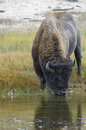 American bison bison bison drinking from stream yellowstone national park wyoming usa Royalty Free Stock Photos