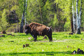 American bison bison bison in prioksko terrasny nature reserve Royalty Free Stock Photo