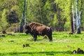 American bison bison bison in prioksko terrasny nature reserve Royalty Free Stock Photo