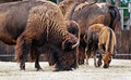American bison bison bison view of Royalty Free Stock Photos