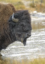 American bison bison bison yellowstone national park wyoming usa Royalty Free Stock Photo