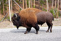 American bison buffalo crossing the road in yellowstone national park usa Royalty Free Stock Images