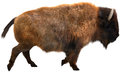 American Bison, Buffalo, Isolated Illustration Royalty Free Stock Photo