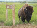 An american bison buffalo sticks out tongue bull or its at me while standing at a road sign the posts for the sign are Royalty Free Stock Image