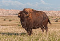 American Bison Bull in Badlands of South Dakota Royalty Free Stock Images